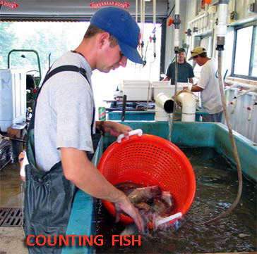 Counting Fish in harvest bay