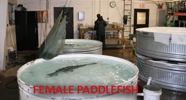 Paddlefish in spawning tank