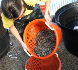 Student Removes Prawns from tank